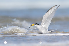 Least Tern (bmse) Tags: county orange fish canon off his take l f56 least tern salah 400mm wingsinmotion 7d2 bmse baazizi