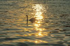Golden Swan (Fenchel & Janisch) Tags: sunset sonnenuntergang frankfurt westhafen frankfurtammain