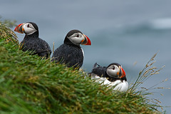 Puffins [Explored 2016-04-17] (Jan Thomas Landgren) Tags: bird nature birds animal animals fauna island iceland wildlife sony ngc natur aves explore puffin puffins tamron avifauna resor fglar djur fgel fraterculaarctica auk auks explored tamron200500mm lunnefgel borgarfjrdureystri alkoralcidae