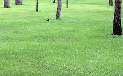 little black bird (kexi) Tags: wallpaper black green bird grass canon turkey little may 2015 instantfave