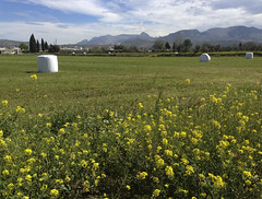 Balas de alfalfa  -  (Micheo) Tags: verde green spain walk paca paseo granada bale lucerne vega alfalfa paquetes balas