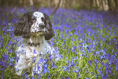 A spaniel in the bluebells (Craigie65) Tags: blue dog pet white black bluebells landscape flora purple spaniel
