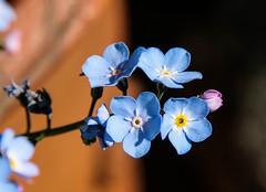 Vergissmeinnicht - Forget-me-not (Kat-i) Tags: flowers blue macro blumen forgetmenot blau kati katharina vergissmeinnicht myosotis boraginaceae raublattgewchse nikon1v1