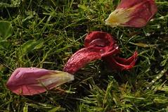 Abgeblhter Tulpenstrau (16) (Chironius) Tags: flower rot fleur blossom flor  fiore blte tulipa tulpen blten liliaceae  liliales  liliengewchse lilienartige lilioideae