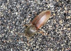 Click Beetle - Agriotes acuminatus (Prank F) Tags: macro nature closeup insect wildlife beetle click wildlifetrust northantsuk ditchfordlakesmeadows agriotesacuminatus