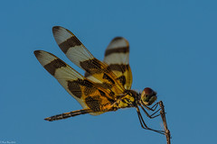 Just hanging on (Fred Roe) Tags: macro nature insect dragonfly wildlife evergladesnationalpark halloweenpennant celithemiseponina nikonafsteleconvertertc14eii nikond7100 nikkorafs80400mmf4556ged lca71c6937