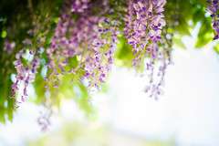 Breeze of Spring (moaan) Tags: leica flower japan 50mm spring flora dof f14 fromabove kobe jp utata flowering mp breeze summilux wisteria hyogo 2016 booked leicamp summilux50mmf14asph