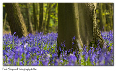 Blue Forest Floor (Paul Simpson Photography) Tags: blue trees england plant flower green nature beauty bluebells forest woodland woods flowering bluebell naturalworld springtime blueflower photosof imageof photoof imagesof photosofnature sonya77 paulsimpsonphotography april2016 spring2016