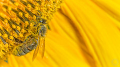 Bee Working On SunFlower  IMG_0585_1 (fredpiv) Tags: macro closeup canon bee abeille tamronsp90mm 60d canon60d canonfrance canoneos60d naturalinsect tamronsp90mmf28divcusdmacro11 insectesnaturels