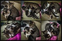 Children's Day (Melissa Maples) Tags: cameraphone cats apple animals turkey spring asia babies tabby trkiye kittens antalya tessa kitties tess iphone  multipanel hexaptych iphone6