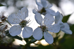 Purity (Alexandra Horvath) Tags: flowers white flower tree nature spring hungary blossom outdoor nikond3200