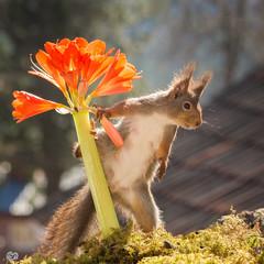 picking flowers (Geert Weggen) Tags: light red summer  plant flower cute nature animal closeup mammal happy rodent moss spring squirrel funny branch bright seed ground bud dust geert perennial weggen ilobsterit hardeko