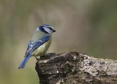 Blue Tit (Images by Bob Richards) Tags: bird nature bluetit ruffordcountrypark