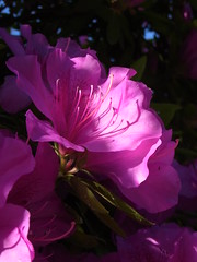 (nofrills) Tags: pink flowers light shadow sunlight flower floral flora shadows pistil stamen azalea shrub