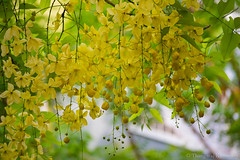 Golden shower tree (Kumaravel) Tags: india flower green nature yellow leaf nikon chennai kumar cassiafistula kumaravel goldenshowertree aragvadha sarakondrai  d3100