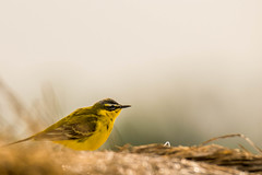 Yellow Wagtail (beatriceverez) Tags: yellow austria europe central wagtail neusiedlersee hansag
