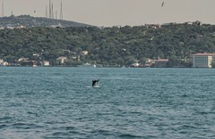 Dolphin, Bosphorus (D. P. S.) Tags: water dolphin istanbul bosphorus