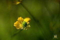 META' (Lace1952) Tags: primavera bokeh meta fiore petali sfocato pistilli nikond7100 zeissplanar50mmf1e4
