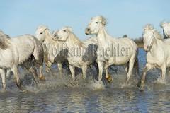 40081000 (wolfgangkaehler) Tags: horse white france water french europe european running wetlands marsh splash herd marshland wetland camargue southernfrance splashing marshlands galloping 2016 whitehorses camarguehorses