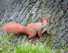 Surprised (hedera.baltica) Tags: squirrel redsquirrel wiewirka sciurusvulgaris eurasianredsquirrel wiewirkapospolita