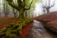 Otzarreta (Alfredo.Ruiz) Tags: tree green grass leaves fog forest river spain foggy beech moos
