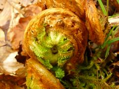 Farn-Erwachen (Jrg Paul Kaspari) Tags: fern spring die eifel farn frhling vulkaneifel lieser lieserpfad manderscheid eifelsteig liesertaltour farnknuel