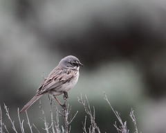 Sagebrush sparrow, Artemisiospiza nevadensis (jlcummins - Washington State) Tags: bird wildlife sparrow washingtonstate kittitascounty whiskeydickwildlifearea ltmurraywildlifearea sagebrushsparrow