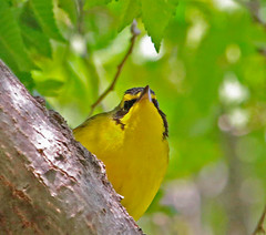 CAC037453a (jerryoldenettel) Tags: bird nm warbler 2016 passeriformes woodwarbler passerine kentuckywarbler geothlypis parulidae curryco nedhoukpark geothlypisformosa