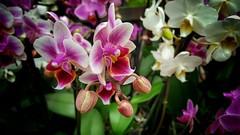 Orchideen sind toll (rollirob) Tags: blumen unna orchideen handybild bltten samsungs6