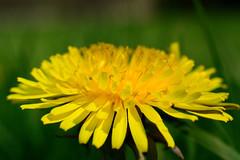 Lwenzahn (-col-) Tags: flower nature spring natur dandelion blume frhling lwenzahn butterblume