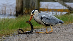 Grey Heron with Eel (acerman17) Tags: bird heron nature grey eating wildlife hunting prey eel survival