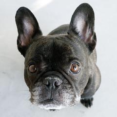 12-28-15 (2255) Good Morning! (Lainey1) Tags: leica dog oz bulldog frenchie frenchbulldog 365 ozzy frogdog 2255 lainey1 zendog 122815 leicadlux4 elainedudzinski ozzythefrenchie theseventhyear 2255oz