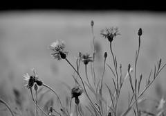 Kornblumen (Lichtabfall) Tags: flowers summer blackandwhite monochrome blackwhite blossom sommer blumen bloom schwarzweiss cornflowers kornblumen einfarbig buchholzidn dangersen