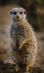 Meerkat (Onissi) Tags: animal zoo meerkat chesterzoo