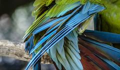 guacamaya (mamonto_70) Tags: parque zoo colombia medellin antioquia suramerica 2016 zoologico guacamayas inexplore nikond90 areametropolitana valledeaburra