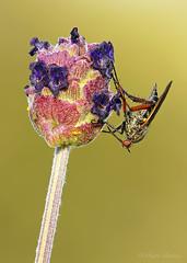 Chupador (Maite Mojica) Tags: flor insecto lavandula inflorescencia stoechas chupador cantueso