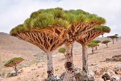 Dragon's Blood Trees, Socotra Is. (Rod Waddington) Tags: trees tree nature landscape island blood native outdoor group dragons east yemen middle dracaena indigenous yemeni socotra cinnabari