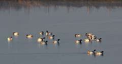 Shellduck, North Cave Wetlands (robin denton) Tags: bird nature wildlife yorkshire waterbirds waterscape eastyorkshire wildlifetrust yorkshirewildlifetrust shellduck northcavewetlands