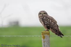 Asio flammeus (LdrGilberto) Tags: bird nature natureza ave owl coruja asio shortearedowl asioflammeus shorteared flammeus nabal