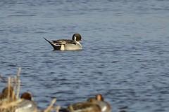 _HNS6872 Pijlstaart : Canard pilet : Anas acuta : Spiessente : Northern Pintail