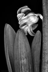 Hyacinth B+W (rich lewis) Tags: blackandwhite bw flower macro nature monochrome mono hyacinth macrophotography richlewis