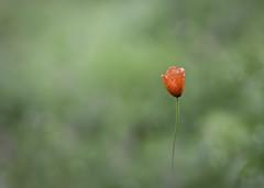 un tres de enero ..... (ALQVIMIA) Tags: red macro bokeh poppy invierno rarezas amapola