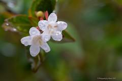 Rain Play in the Back Yard (Sharon Wills) Tags: flowers white water leaves rain drops backyard raindrops