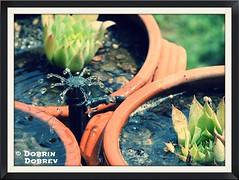 Summer time. (d_dobreff) Tags: plant flower macro green nature water fountain up garden nikon close outdoor border bulgaria sprinkler villa d3300