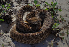 Diamondback Rattlesnake (ashockenberry) Tags: