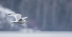Free Spirit (Mew Gull?) (abritinquint Natural Photography) Tags: winter wild white black bird nature water swim outdoors grey austria fly nikon wildlife gull gray flight grau telephoto caspian fowl february waterfowl tamron vogel villach supertelephoto 600mm 150600 150600mm d7200