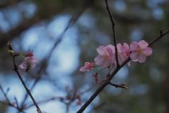 P2103903 (deception.tw) Tags: leica flower hsinchu taiwan olympus panasonic   45mm omd  em5  hsinchucity leicadgmacroelmarit12845