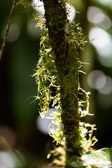 Mousse sur tronc d'arbre (zambaville) Tags: macro canon eos is usm arbre mousse proxy flore tronc f28l ef100mm darbre lesquelin 5dsr