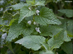 Lamium moschatum IZE_12216 (Zachi Evenor) Tags: flowers winter flower nature israel  nessziona    lamium 2016  nesziona     kurkar  moschatum  zachievenor kurkarhills  lamiummoschatum  nesszionakurkarhills