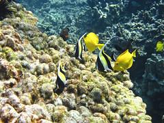 Moorish Idols (reefbubbles) Tags: ocean yellow coral hawaii bay photo underwater moorish idol reef tang